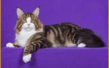 缅因猫能拉出去遛,碰到胆小又大又怂的缅因猫,就要避免吓到它