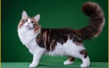 缅因猫粘人程度三颗星,寿命比较长,不怎么怕冷