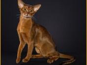 阿比猫为什么这么贵?阿比西尼亚猫繁育颜色?