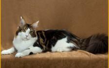 漂亮的缅因猫是品相标准,颜色_花纹_长相都比较好的缅因猫