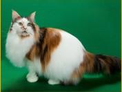 缅因猫胃口大,后院猫舍的缅因猫价格低,网上买缅因猫要小心