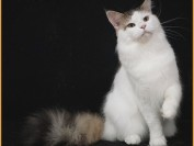 如何繁育缅因猫的花色?缅因猫的配种知识及配种毛色表