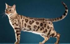 孟加拉豹猫书籍《孟加拉豹猫品相详解电子书》豹猫猫舍必读