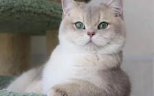 英短蓝金渐层的价格主要是要看品相,正规猫舍价格一般上万元