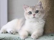 繁育英短蓝金渐层的猫舍不是很多,但蓝金渐层热度很高