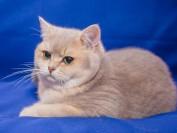 英短蓝金渐层价格这么贵,如何繁育出蓝金渐层猫?