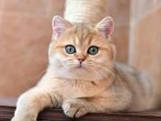 英国短毛猫失败品相案例分析_英短猫的品相失格详解