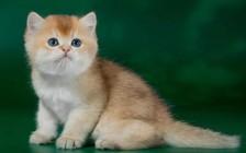 英国短毛猫的颜色可以分为6大类,金渐层中NY12色最贵