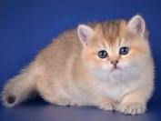 挑选金渐层的关键是英国短毛猫品相标准,金渐层分:黑金渐层色_蓝金渐层色