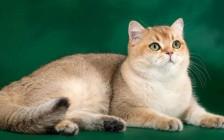 猫曲霉菌病是由腐生真菌引起,猫曲霉菌病主要疗法