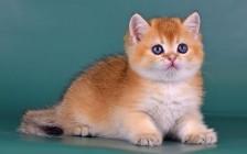 猫基底细胞瘤较为常见,暹罗猫、波斯猫的猫基底细胞瘤通常为良性