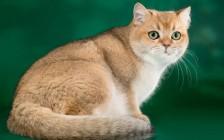 猫巴尔通体病的临床症状,猫巴尔通体病的传播及治疗
