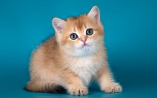 猫特应性皮炎免疫疗法,患特应性皮炎的大多数猫可用皮质激素控制