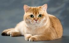 什么是猫腹水?猫腹水最常见的原因?猫腹水诊断治疗方法?