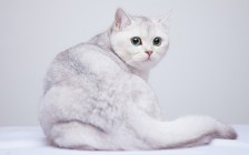 英短银渐层较少掉毛,母猫也会发腮,眼睛颜色蓝绿或黄绿色