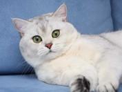 猫慢性支气管炎及哮喘的各种症状,对猫的慢性支气管疾病治疗