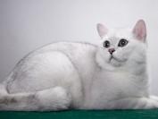 猫杯状病毒感染后最常见的临床症状,猫杯状病毒主要疗法抗生素