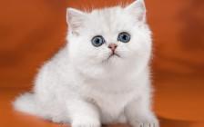 英短银点和渐层颜色相近,银点猫价格略贵一些,寿命12~15岁