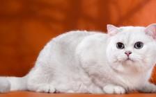 英短银渐层猫性格黏人听话,价格不便宜,爪子颜色为黑色