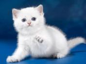 银渐层眼睛黄绿色,渐层猫的毛并不是越白越好