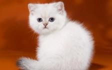 猫胆囊囊肿病的临床症状,猫胆囊囊肿病的引流疗法