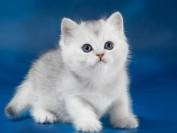 银渐层猫并非什么品种,英短银点的品相挑选先看眼睛颜色