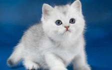 猫芽生菌病治疗注意事项,猫芽生菌病首选药物伊曲康唑