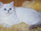 英短银点和银渐层最大的区分是眼睛颜色的不同