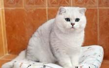英短银渐层5~8月开始发腮变包子脸,饲养银渐层猫要注意均衡喂食