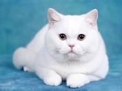 英短猫舍必读的《英国短毛猫品相详解电子书》英短猫书籍