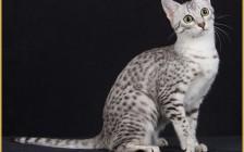 如何治疗猫的肾脏疾病?肾脏疾病的常见并发症是高血压