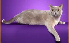 猫眼白内障发病的原因,猫白内障病主要疗法