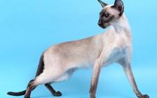 什么是猫肢端肥大症?胰岛素抗性糖尿病是猫肢端肥大症的临床症状