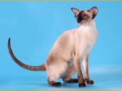 如何预防猫患Tape虫病?猫能将tape虫传播给人类吗?