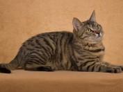 如何识别伯曼猫?伯曼猫的典型特征有哪些?