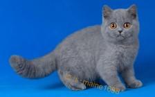 英短蓝猫血统追踪_英短猫相关知识问答