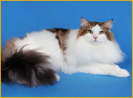 挪威森林猫花色繁多,重点色挪威森林猫在WCF协会并不认可