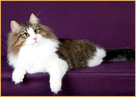 挪威森林猫是缅因猫吗?挪威森林猫和布偶猫哪个美?