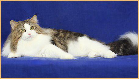 挪威森林猫颜色非常丰富,国内正规挪威森林猫舍较少