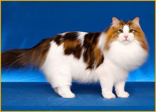 挪威森林猫价钱跟品相有关,成年挪威森林猫一个月吃猫粮9斤