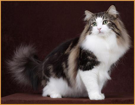国内专业的挪威森林猫舍很少,购买挪威森林猫要谨慎串串猫