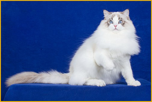布偶猫品相详解电子书