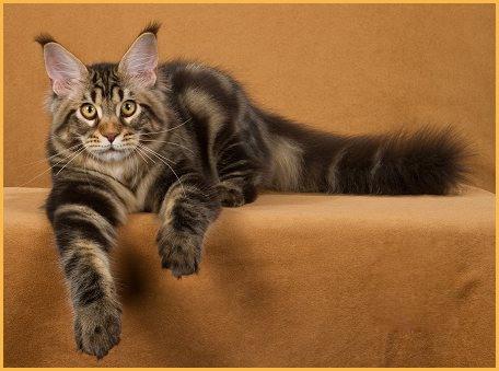 缅因猫国外价钱1~2千美金一只,缅因猫颜色跟价格没关系