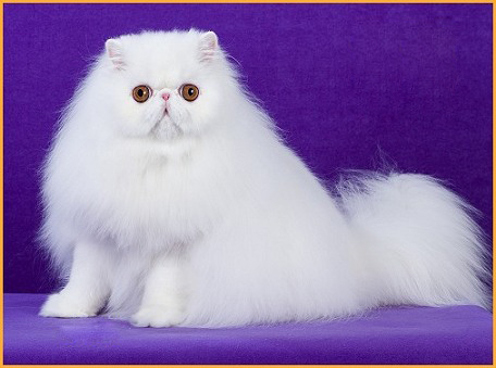 波斯猫品相详解电子书