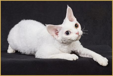 德文卷毛猫全色系什么花色都有,适合对猫毛过敏的朋友