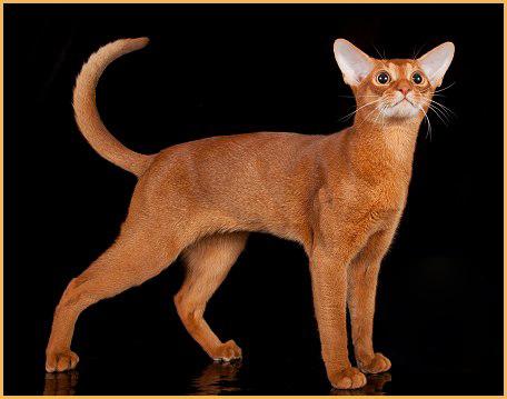 狗猫之称的阿比西尼亚猫智商比较高,价格血统纯正品相好的一万以上