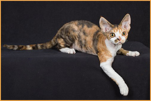 德文猫挑选案例分析,德文卷毛猫品相标准实例分析