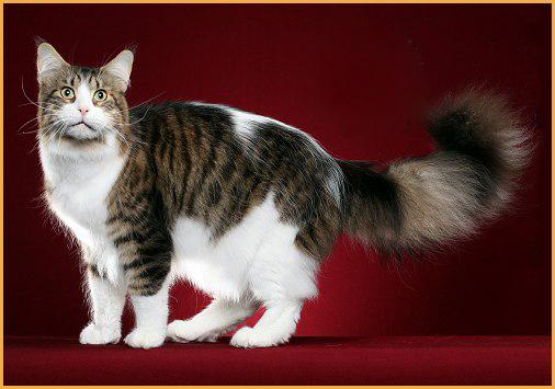 缅因猫三个月大概4斤,体长65~70厘米,三个月时毛不长不短