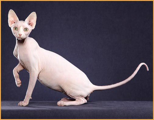 斯芬克斯猫品相详解电子书