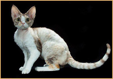 德文卷毛猫聪明可训练性强,德文猫品相鉴别及挑选要点